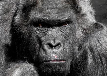 Gorilla.pixabay